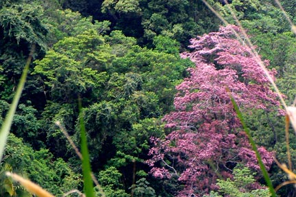 Arbol floreciente del bosque tropical