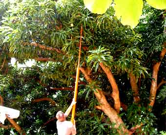 Hooking for a mango in the FunaVid forest
