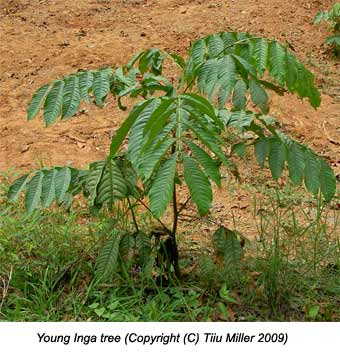 Young Inga tree