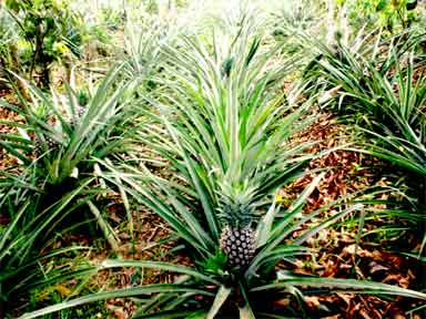 Cash crop of pineapples grown in Inga alley