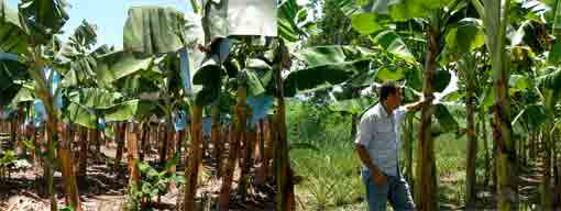 bananas grown conventionally and with Inga
