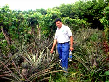 Farmer with pineapples growing in Inga alley