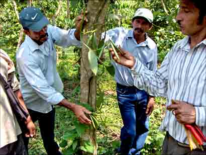 Farmers showing their vanilla crop