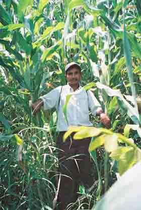 Farmer with tall maize